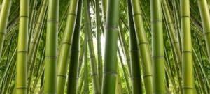 Bambusstämme zur Herstellung von Viskosefasern